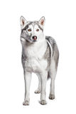 Siberian Husky. Portrait of a work dog on a white background Stock Photos