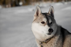 Siberian Husky Profile with Snowy Background Stock Photos