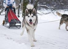 Siberian Husky Pulling Sled Royaltyfri Bild