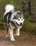 Siberian Husky pulling a sled in Scotland. Royalty Free Stock Image