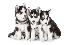 Siberian Husky puppies Royalty Free Stock Images