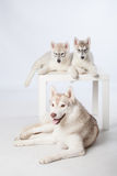 Siberian Husky puppies and adult dog Stock Images