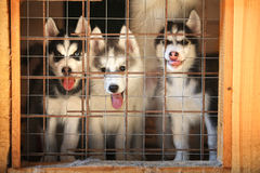Siberian husky puppies in a cage. aviary stock photography