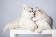 Siberian Husky puppies royalty free stock photos