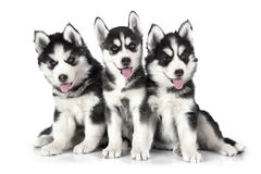 Siberian Husky puppies over white Royalty Free Stock Image