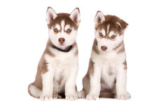 Siberian husky puppies posing on white Stock Photography