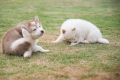 Siberian husky puppies scratching on green grass Stock Photos