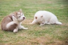 Siberian husky puppies scratching on green grass Stock Photos