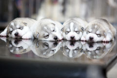Siberian husky puppies sleeping with background stock images