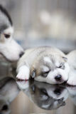Siberian husky puppies sleeping with  background.  Royalty Free Stock Photo