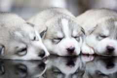 Siberian husky puppies sleeping with  background.  Royalty Free Stock Photos