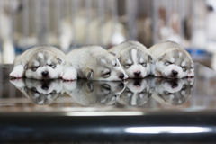 Siberian husky puppies sleeping with  background.  Stock Photography