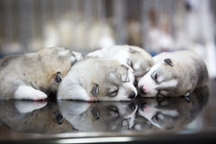 Siberian husky puppies sleeping with  background.  Royalty Free Stock Images
