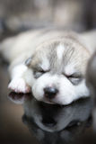Siberian husky puppies sleeping with  background.  Royalty Free Stock Image