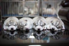 Siberian husky puppies sleeping with  background.  Stock Photos