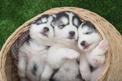 Siberian husky puppies sleeping in basket bed stock image