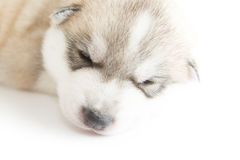 Siberian husky puppies sleeping with isolated background.  Royalty Free Stock Images