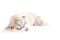 Siberian husky puppies sleeping with isolated background.  Royalty Free Stock Photo