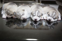 Siberian husky puppies sleeping with isolated background.  Stock Photography