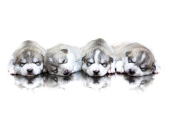 Siberian husky puppies sleeping with isolated background stock photos