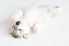 Siberian husky puppies sleeping with isolated background.  Stock Photos