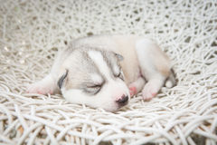 Siberian husky puppies sleeping with isolated background Royalty Free Stock Photography