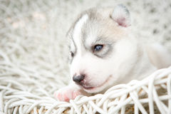 Siberian husky puppies sleeping with isolated background.  Royalty Free Stock Photography