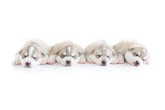 Siberian husky puppies sleeping with isolated background.  Royalty Free Stock Photos
