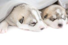 Siberian husky puppies. Sleeping on isolated background Stock Images