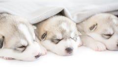 Siberian husky puppies. Sleeping on isolated background Stock Photo