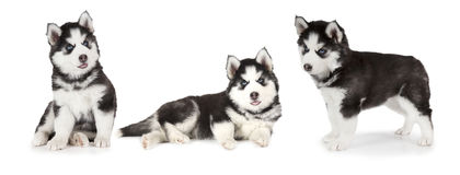 Siberian Husky puppies Royalty Free Stock Photo