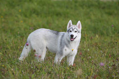 Siberian husky puppy stock photos