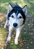 Siberian Husky puppy Stock Images