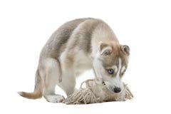 Siberian Husky puppy Royalty Free Stock Photo