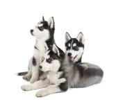 Siberian Husky Puppy fotografia de stock