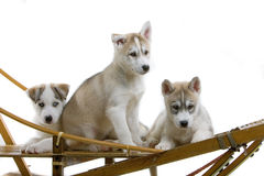 Siberian husky puppy Royalty Free Stock Image