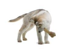 Siberian husky puppy Stock Image