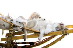 Siberian husky puppy Stock Photos