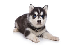 Siberian Husky puppy. On white Royalty Free Stock Image