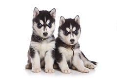 Siberian Husky puppy. On white Royalty Free Stock Photos