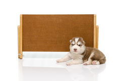 Siberian husky puppy with banner Royalty Free Stock Images