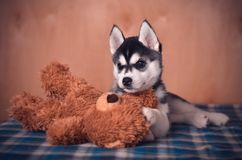 Siberian husky puppy black and white posing with toy teddy bear. On blue checked plaid and wooden background royalty free stock images