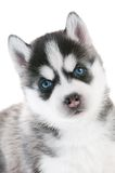 Siberian husky puppy with blue eyes Royalty Free Stock Image