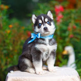 Siberian husky puppy Royalty Free Stock Images
