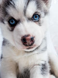 Siberian husky puppy with blue eyes Stock Photography