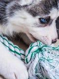 Siberian husky puppy with blue eyes Stock Photos
