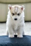 Siberian husky puppy with blue eyes Royalty Free Stock Images
