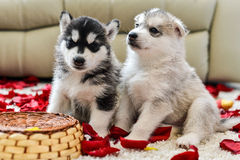 Siberian husky puppy with blue eyes Royalty Free Stock Photos