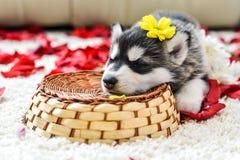 Siberian husky puppy with blue eyes Stock Photo
