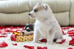 Siberian husky puppy with blue eyes Royalty Free Stock Photos